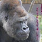 イケメンゴリラ「シャバーニ」syabaniデジタル写真集