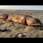 ハリケーン後の海岸で牙の生き物【速報】「これはいったいなに?」 #トレンド #followme